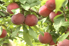Red Plums fruit SD-15 Stock Footage