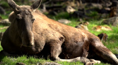 Moose in sweden - springtime Stock Footage