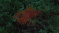 Red marine fish surrounded by green algae in the Mediterranean Stock Footage