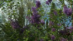 Syringa Vulgaris Lilac Spring 2 Stock Footage