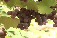 Rosed Grapes at the Vineyard in Videira, SC Brazil Stock Footage