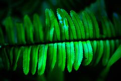 Stock Photo of Fern branch close-up