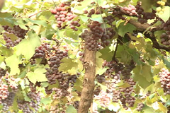 Rosed Grapes at the Vineyard Stock Footage