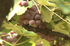 Rosed Grapes in Videira, SC Brazil Stock Footage