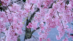 Blossoming cherry tree on the background of the roof of the temple. Stock Footage