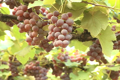 Rosed Grapes Vineyard Stock Footage