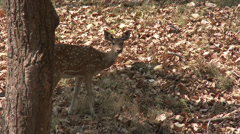 P03548 Spotted Deer at Kanha Tiger Reserve in India Stock Footage