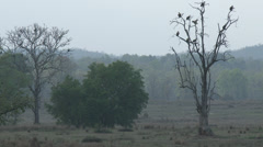 P03547 Vultures on Tree in Meadow at Kanha Tiger Reserve Stock Footage