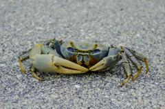 A Blue Crab Scuttles Across the Pavement in the Florida Keys Kuvituskuvat