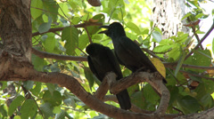 P03550 Pair of Large-billed Crows in India Stock Footage