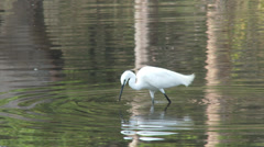 P03543 White Egret Feeding at Kanha National Park in India Stock Footage