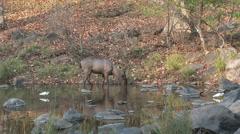 P03541 Sambar Buck Feeding in Water at Kanha National Park Stock Footage