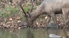 P03542 Sambar Bull Feeding and Drinking in Water Stock Footage