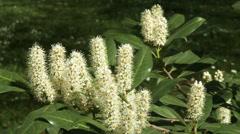 Wild Chestnut Bush Spring  Stock Footage