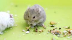 Hamsters eating Stock Footage