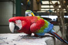 close up face of green-winged macaw, ara chloropterus eating sun flowers seed - stock photo