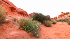 Pink Desert Wild Flowers and Red Rocks Stock Footage