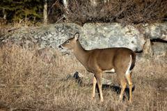White-Tailed Deer - Pinewa, Manitoba Stock Photos