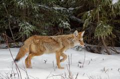 Coyote Hunting Hiiret Kuvituskuvat