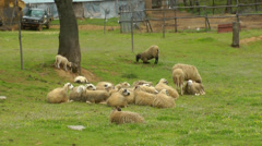 A drove of sheeps is relaxing. Stock Footage