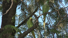 P03560 Rose-ringed Parakeet Pair in Tree in India Stock Footage