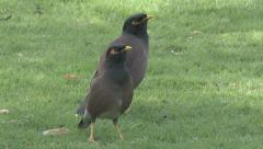 P03557 Myna aka Mynah Birds in India Stock Footage