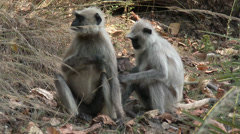 P03552 Gray Langur Monkey Mother Baby and Relative - stock footage