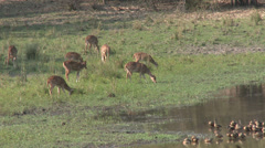 P03554 Spotted Deer and Whistling Ducks at Kanha National Park Stock Footage