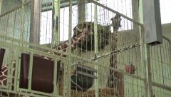Giraffe eating from food basket tilt Stock Footage
