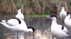 Pied Avocet birds in water - stock footage