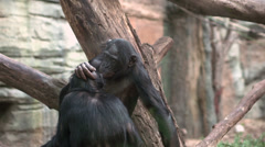 Apes grooming one another - stock footage