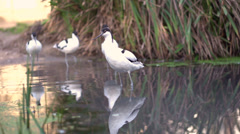 Pied Avocet birds walking through water slow motion Stock Footage