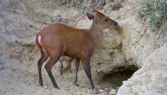 Barking Deer consumes clay from a  special communal hole. Stock Footage