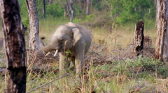Wild Asian / Indian Elephant (young male) spraying dirt, eating grass in India. Stock Footage