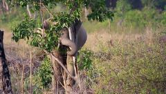 Wild Asian / Indian Elephant (young male) eating tree bark in India. Stock Footage