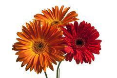 Stock Photo of Gerber flowers closeup