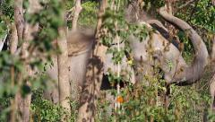 Wild Asian / Indian Elephant using trunk to cover herself with dirt in India. Stock Footage