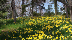 Blooming Yellow Narcissuses in the Brooklyn botanical garden. Stock Footage