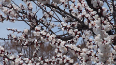 Spring Apricot flowers (Prunus armeniaca) in the Brooklyn botanical garden. Stock Footage