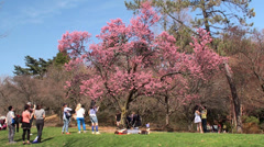 People are admiring cherry blossoms in the Brooklyn botanical garden. Stock Footage