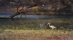 A Heron strikes at a fish and then flies off in Bharatpur, India. Stock Footage