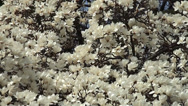 Stock Video Footage of Blooming Magnolia Kobus spring of in the Brooklyn Botanical Garden.