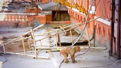 Stock Video Footage of Rhesus Macaques roam freely around this human dwelling in Jaipur, India.