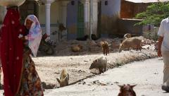 Pigs are seen alongside people & feeding on garbage in streets of Jaipur, India. Stock Footage