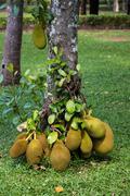 Jack fruit on tree - stock photo