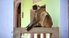 The Langur Monkey has become a nuisance species around villages in India. Stock Footage