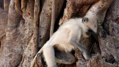 Adorable little Langur Monkey energetically searches for food in tree in India. Stock Footage