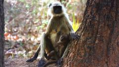 Gray or Hanuman Langur Monkey mother and baby in Bandhavgarh, India. Stock Footage