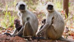Langur Monkey mothers and babies bonding & nurturing in Bandhavgarh, India. Stock Footage