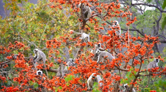 Gray or Hanuman Langur Monkeys feed & socialize in a magical tree in India. Stock Footage